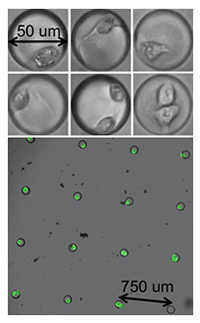 Isolation of cells in microfabricated chambers containing oxygen sensors.